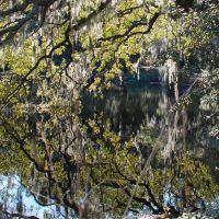 Live Oak tree, Авондейл
