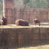 Orangutans, Гринвилл
