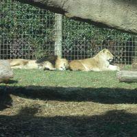 Lions, Гринвилл