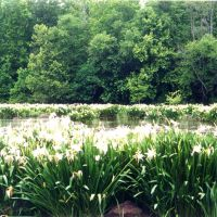 Spider Lillies on the Catawba River @ Landsford Canal State park, Пайнридж