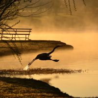 Heron at Dawn, Winthrop Univ. Lake, Rock Hill, SC, Рок-Хилл