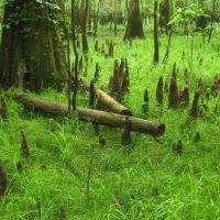 Cypress Knees, Форест-Акрес
