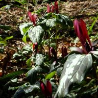 Winter flowers (Mottled Trillium: T. maculatum)., Хемингуэй