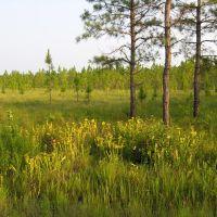 Lewis Ocean Bay Long Leaf Pine Ecosystem, Хемингуэй