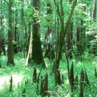 Trees and knees (May 2008), Чарльстон