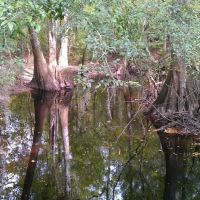 Bald Cypress trees in Congaree National Park, Чарльстон