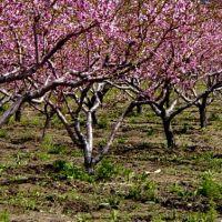 Peach orchard in blossom, Бригам-Сити