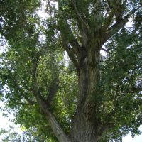 Huge Cottonwood Tree in Gunnison Park, Ганнисон