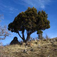 Grandeur Juniperus, Маунт-Олимпус