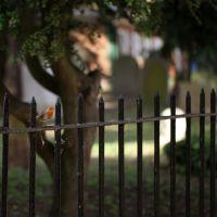 churchyard robin, Абингдон