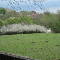 White horses, white blossom, Oakwell Hall Park April 2011, Батли