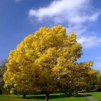 Autumn Park tree, Бедфорд