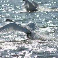 Swans, Ватерлоо