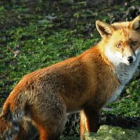 Fox ,Christmas Day , Holes bay ., Ватерлоо