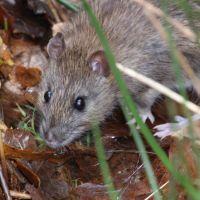 Common or Brown Rat (Rattus norvegicus), Ватерлоо