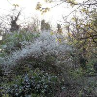 Blossom, Грисби