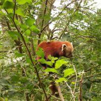 Red panda, Дадли