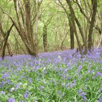 Bluebells carpet near East Grinstead, Ист-Гринстед