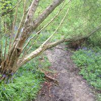 fallen tree for TGC, Ист-Гринстед