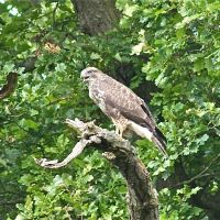 Buzzard, Wood Field, Carlton Hall Farm, Карлтон
