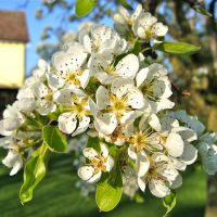 Pear Blossom at Carlton Hall Farm, Карлтон