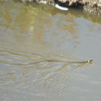 Grass Snake in the Pond, Карлтон