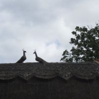 These two thatched peacocks will never show off., Кенилворт