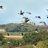 Pink-footed Geese, Кросби