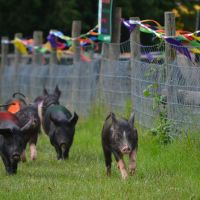 Pig race at Bocketts Farm, Литерхед