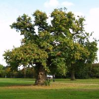 TREE STOKWOOD PARK LUTON, Лутон