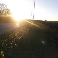 Daffodil sunset, Майденхед