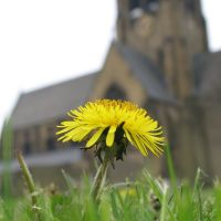 Dandelion, Holy Trinity Church, Ossett, Оссетт