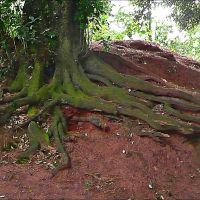 Roots., Пайнтон