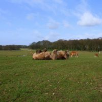 Knowsley Safari Park - Camels, Прескот