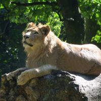 Lion at Knowsley Park, Прескот