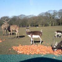 Deers, Прескот