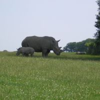 Rhinos in Knowsley Safari Park, Прескот