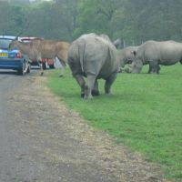 Rhinos at Knowsley Safari Park, Прескот