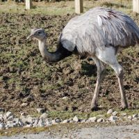 Rhea at Knowsley Safari Park, Прескот