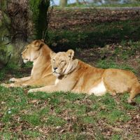 Lions at Knowsley Safari Park, Прескот