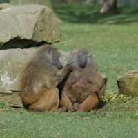 Baboons at Knowsley Safari Park, Прескот