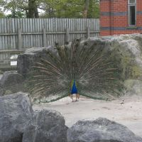 Peacock Dancing, Прескот