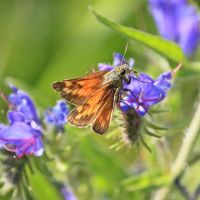 Large Skipper butterfly ( Ochlodes sylvanus ), Рагби