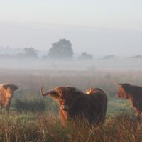 A fold of Highland Cattle near Bury, Радклифф