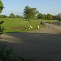 Geese with Goslings - Verulam Park, St Albans, Сант-Албанс