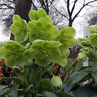 Helleborus Cyclophyllus (Christmas Rose), Саут-Шилдс