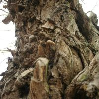 Tree monster, Стайнс