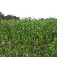Corn crop in Leominster, Стретфорд