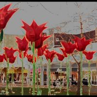 Giant winter flowering Tulips ?, Хаддерсфилд