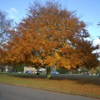 Harpenden Beech Tree, Харпенден